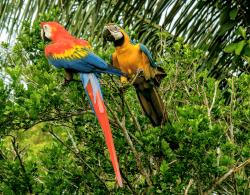 Wild tropical birds, Amazon, Peru