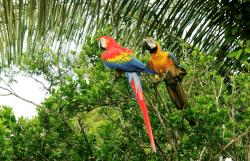 Rare birds, Amazon basin, Peru