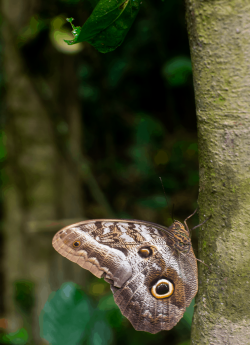 Resting moth, Amazon basin, Peru