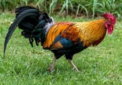 Rooster-Kauai