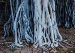 Banyan-Trees, Waikiki,-Oahu
