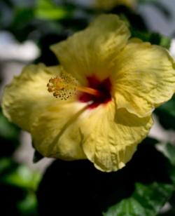 Hawaiian Flower-Kauai