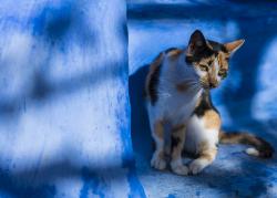 Chefchaouen (Blue City) cat