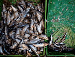 Essaouira fish bounty