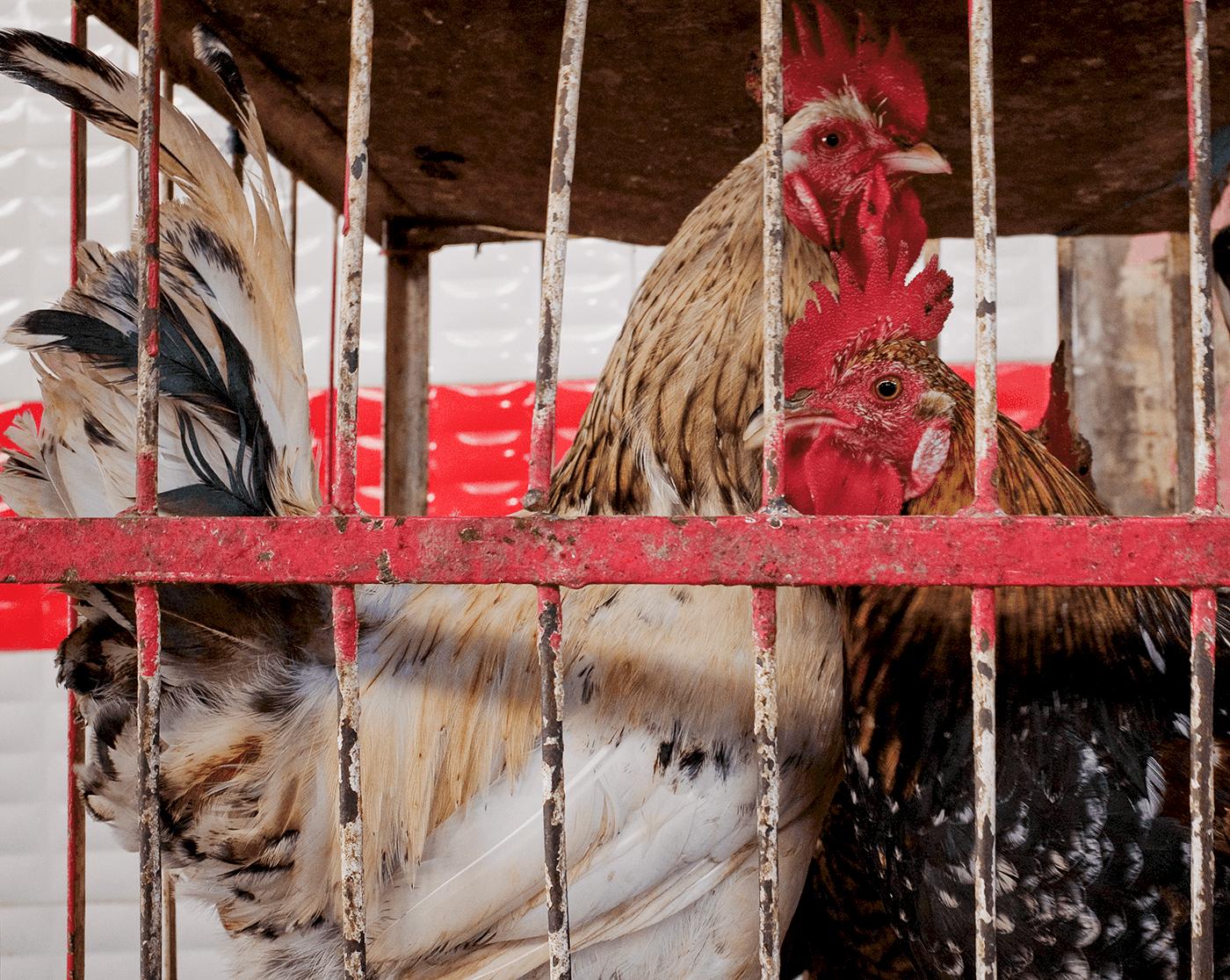 Captive chickens -  Fes medina