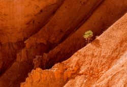 Lone Tree in Queen's Garden - Bryce Canyon