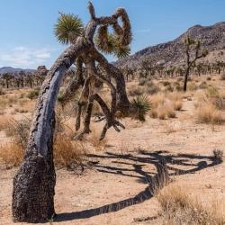 Dying Joshua Tree