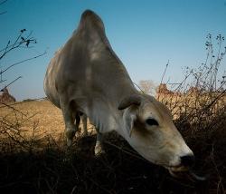 Burmese cow Rangoon