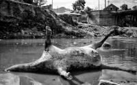 Dead cow_Katmandu-Nepal